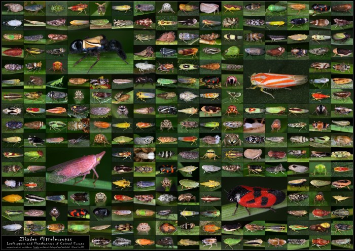 Poster Planthoppers & Leafhoppers of Europe
